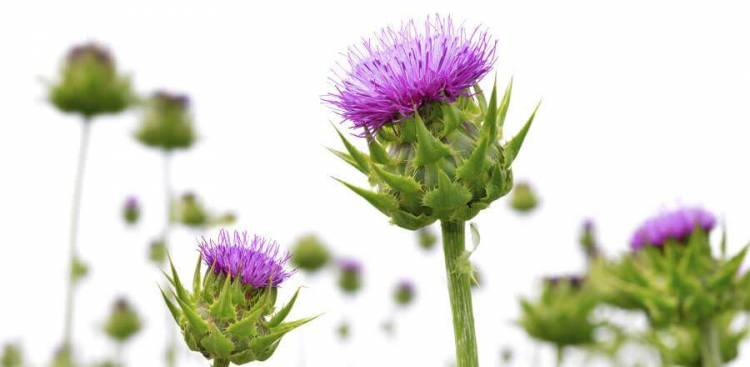 Milk Thistle for Liver Detox – Fact or Fad?