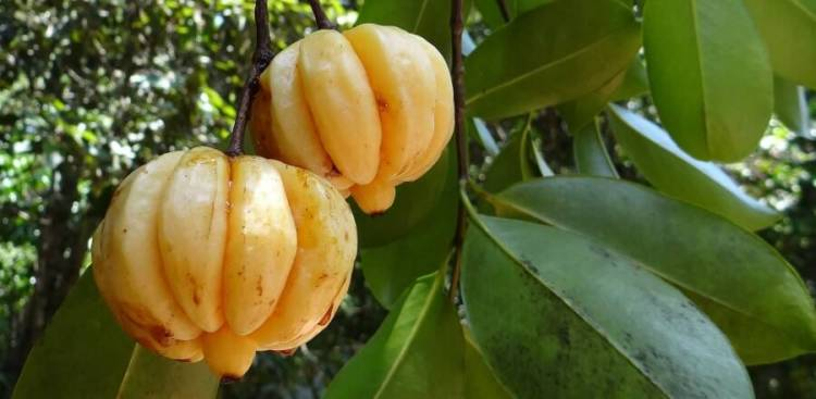 Health Benefits Of Garcinia Cambogia Simply Supplements