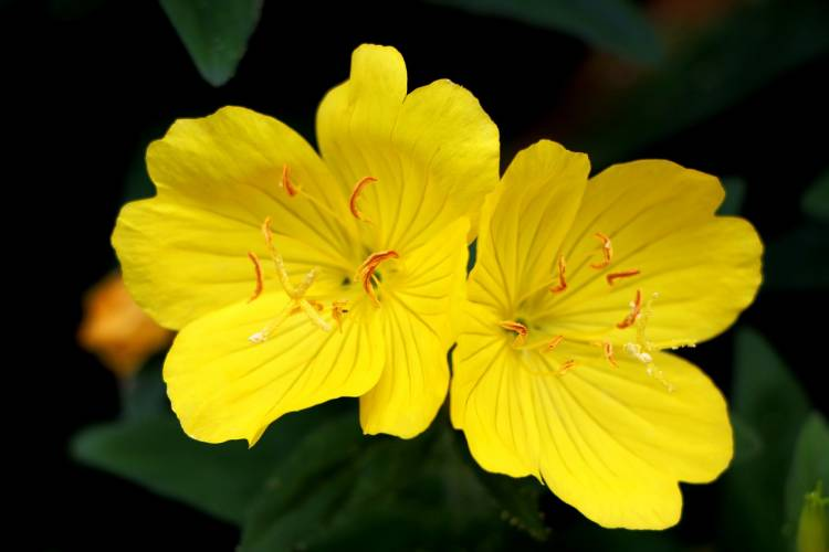 Starflower Oil vs Evening Primrose Oil