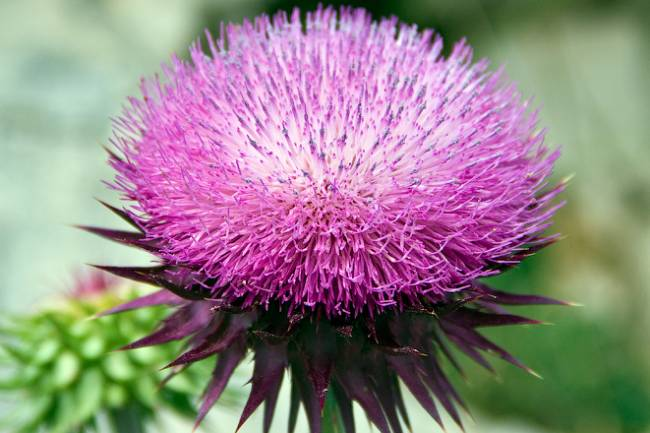 Discovering the Benefits of Milk Thistle