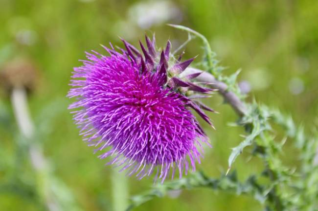 Uses of Milk Thistle