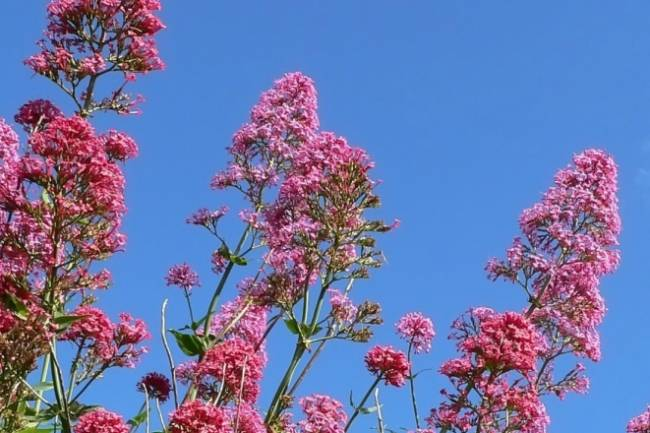 Health Benefits of Valerian