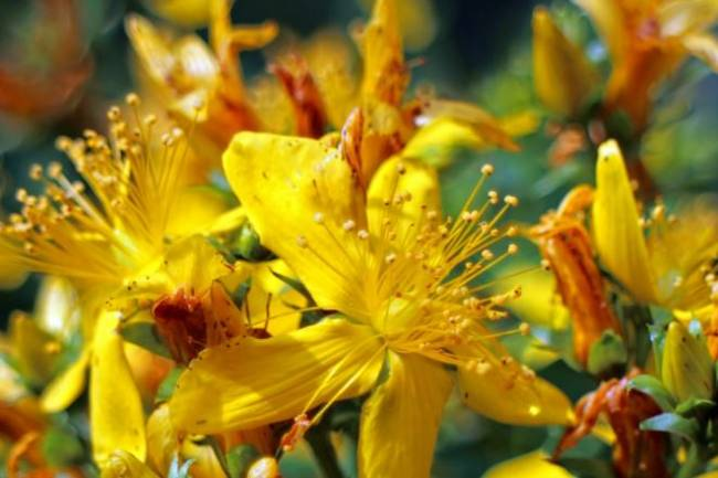 Health Benefits of St John's Wort