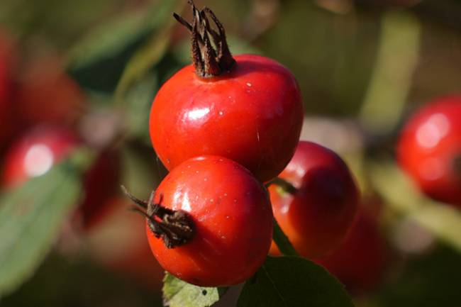 Health Benefits of Rosehips