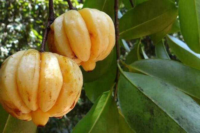 Health Benefits of Garcinia Cambogia