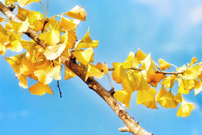 The Effects of Ginkgo Biloba on Libido