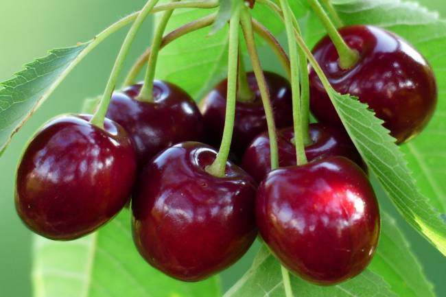 The Health Benefits of Montmorency Tart Cherry